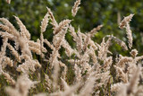 Reed plants in closeup - 176778180