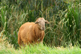 Sheep Standing By a Gully - 176791732