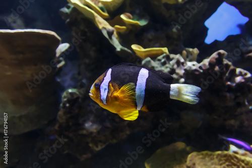 Exotic sea fish Clown Poster