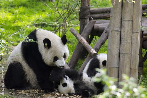 Fotobehang Panda baby panda with mom