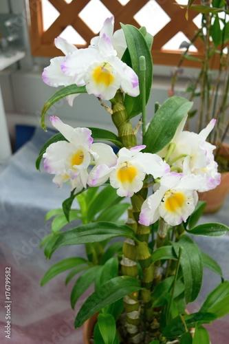 洋蘭 Dendrobium White Rabbit 'Sakurahime'