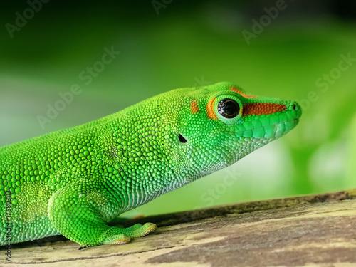 Lizard - 176803113