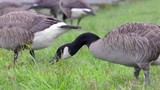 canada goose dips its head to eat grass 4k - 176805102
