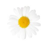Close-up of Chamomile (Ox-Eye Daisy ) isolated on white background. - 176805501