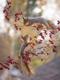 squirrels on branches with berries