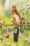 squirrel standing on  Raspberry branches
