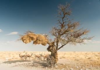 Springböcke suchen Schutz vor der Sonne unter einem Baum mit einem Webervogel Nest, Etosha Nationalpark, Namibia