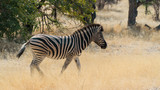 Zebra in a field in Namibia - 176830518