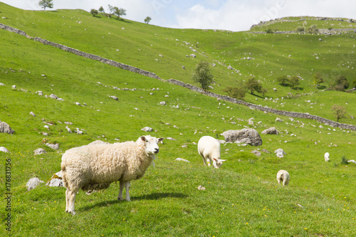 Yorkshire dales National Park England UK Sheep and countryside view Poster