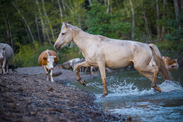 horse at the watering hole looks at the camera. a water stallion falling into a river in a forest against a background of nature and a cow. splashes from under the hooves. herd