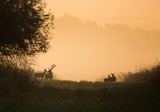 Silhouette of red deer and hinds on meadow - 176841126