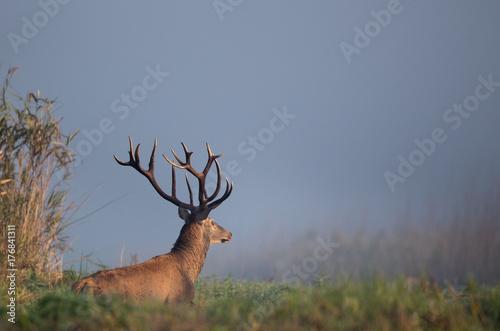 Red deer walking on meadow - 176841311