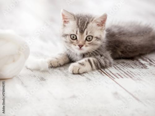 Curious gray kitten Poster