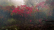 Red-leafed bush in the forest on a misty autumn morning at High Point State Park, New Jersey
