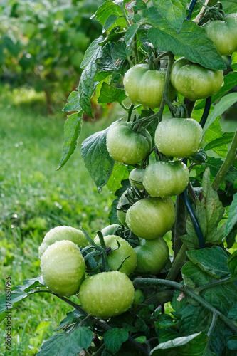 Wet green tomatoes growing in a garden.