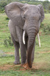 African Elephant Scraping Grass Together to Eat