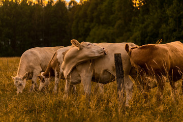 Cow in sunset licking
