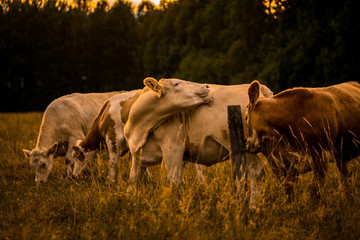 Cows in sunset licking
