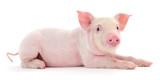 Pig on white - 176859998