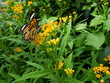 butterfly Monarch, garden and flowers
