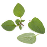 Oregano or marjoram leaves isolated on white background cutout - 176862345