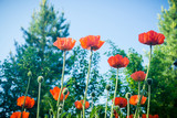Red poppies in the garden. Selective focus. - 176862359