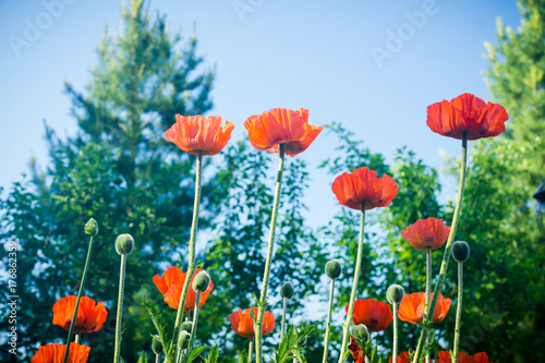 Red poppies in the garden. Selective focus.