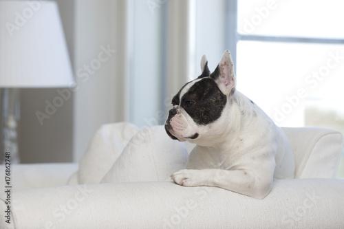 Aluminium Franse bulldog Dog