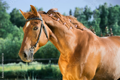 portrait of sportive chestnut  horse . summer Poster