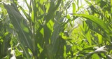 Walking through corn stalks - slow motion - 176885133
