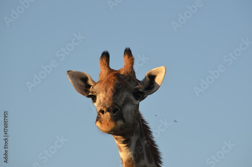 Giraffe gazes down at the camera Poster