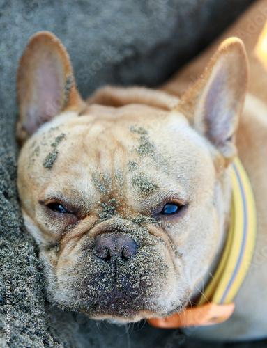Aluminium Franse bulldog French Bulldog Lying Down in Sandy Beach. Northern California, USA.