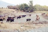 Cows - 176893978