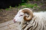 Ram on Farm - 176895783