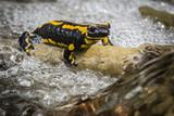 Salamander - 176897734