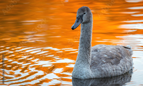 young Swan on lake
