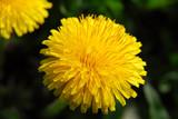 Yellow dandelion (Taraxacum) on a dark background, macro