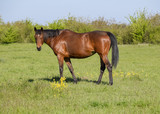 Horses graze in the pasture. Paddock horses on a horse farm. Wal - 176928363
