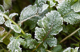 Closeup view to the greenery covered with ice on a cold day of late autumn. Vegetable natural background. Frozen leaves of arugula in the kitchen garden - 176930743