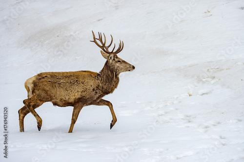 deer running on the snow in christmas time - 176943520
