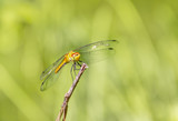 resting dragonfly - 176944327