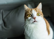Ginger and white hilarious cat looking at you with funny bulging eyes
