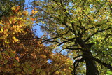 chêne en automne - 176947748