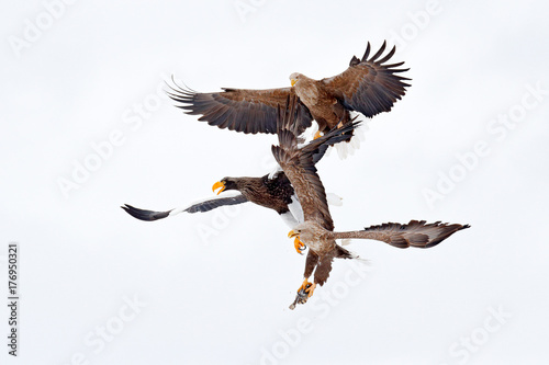Eagle fight with fish. Winter scene, birds of prey. Big eagles, snow sea. Flight White-tailed eagle, Hokkaido, Japan, Asia. Action wildlife scene on sky. Eagle in fly.  Three eagles. Animal behaviour © ondrejprosicky