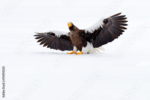 Steller's sea eagle, Haliaeetus pelagicus, flying bird of prey, with blue sea water, Hokkaido, Japan. Wildlife action behaviour scene. Morning sun. Winter Japan with snow. Beautiful cold nature. © ondrejprosicky