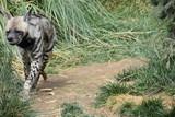 Hyena - 176950500