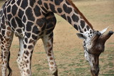 giraffe - 176951109
