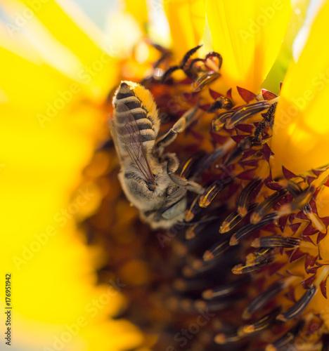 Bee yellow flower of a sunflower