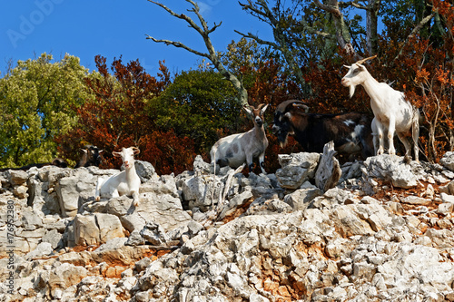 Chèvres sur rocher Poster