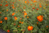 Sunny Red; Cosmos Sulphureus; Fully Bloomed Red Cosmos in August - 176960172